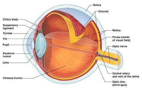 How many parts are in a human eye quora the cornea cornea is the outermost layer of the eye and is primarily responsible for focusing the light that comes into our eyes ccuart Choice Image