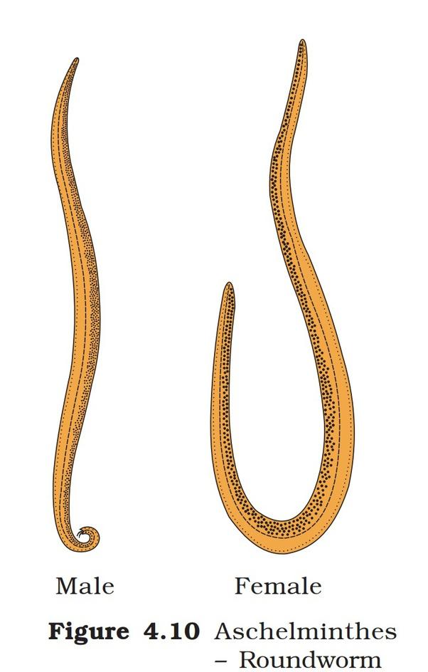 phylum aschelminthes wuchereria