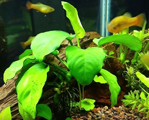 What Are Some Examples Of An Aquatic Plant Quora