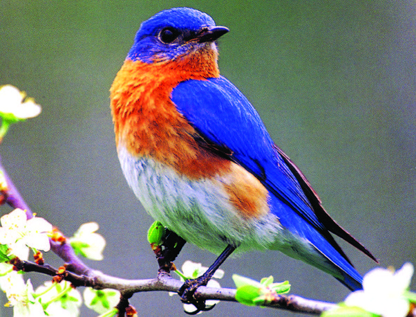 how is a bluebird different than a blue jay? - quora