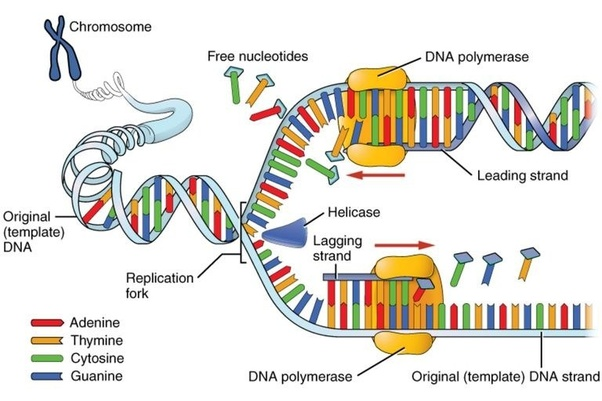 What Is A Dna Replicative Quora