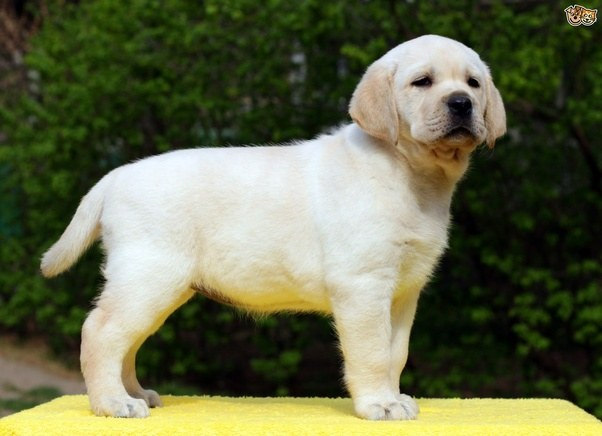 Dogs For Sales In India