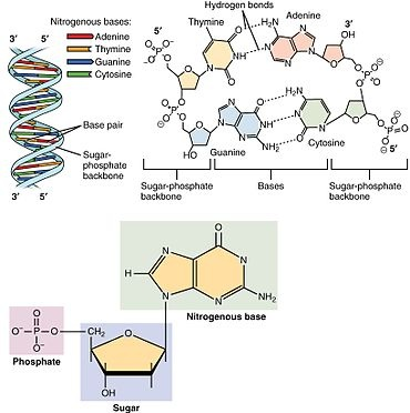 What is the difference between dna and genes quora depending on the organisms genetic material have higher degrees of organization in eucaryotes each dna double strand is densely packed by nuclear malvernweather Image collections