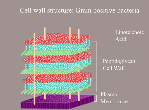 What is the gram staining procedure quora it acts as regulator of autolytic wall enzymes muramidases bacterial enzymes located in the cell wall that cause disintegration of the cell following ccuart
