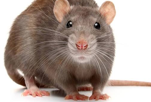 What Is A Rat Is Called In Hindi Quora