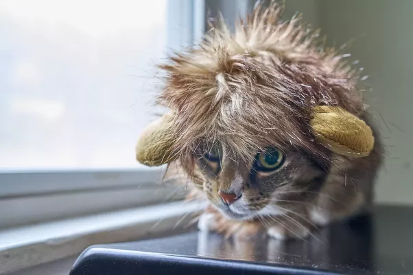 From a psychological point of view what makes cats so cute quora this is my lion costume i know but the halloween store didnt have the proailurus in stock but the principles are the same the cuter of the proailuruses voltagebd Image collections