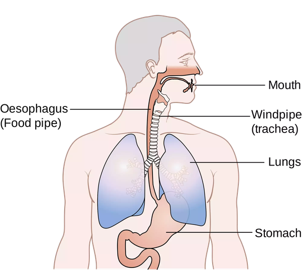 What Is The Difference Between A Trachea And An Esophagus Quora