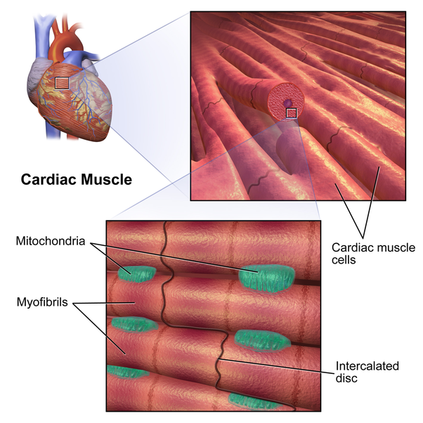 What is the muscle in the human heart called? - Quora