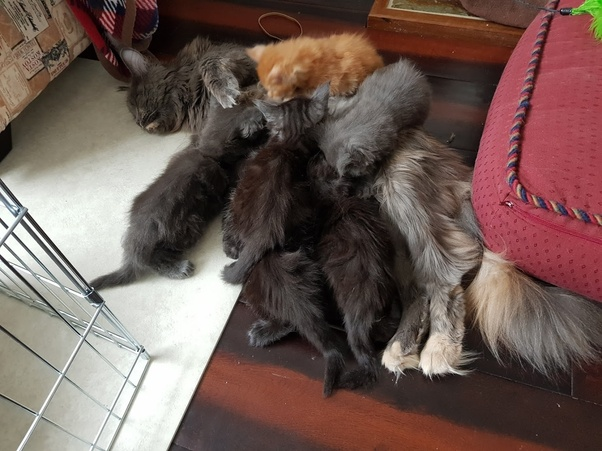 Why are Maine Coon cats so friendly? - Quora