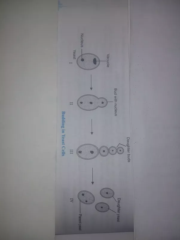 Mode of asexual reproduction in yeast