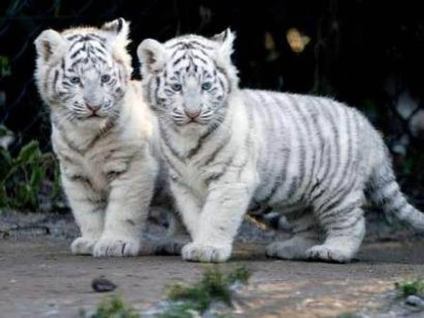 why is the white bengal tiger endangered? - quora