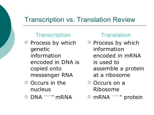 What Are The Major Differences Between Transcription And Translation