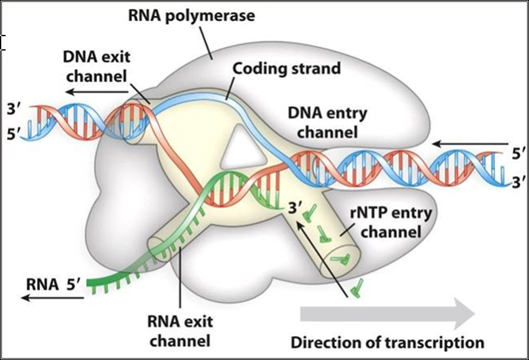 What is the difference between dna polymerase and rna polymerase dna replication diagram lifted from wikipedia article dna replication ccuart Gallery