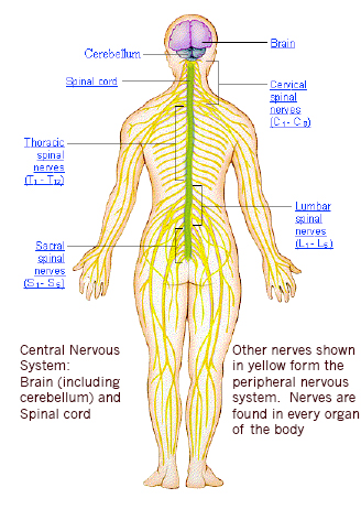 What are the organs involved in the nervous system quora parts of the somatic nervous system neurons enclosed within the skull and the vertebral column comprise the cns and those parts which are outside these ccuart Choice Image