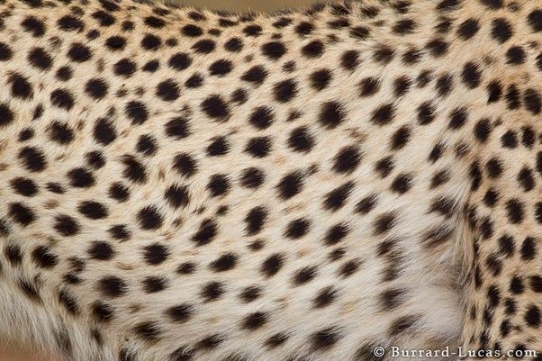 What Are The Differences Between A Cheetah A Leopard And