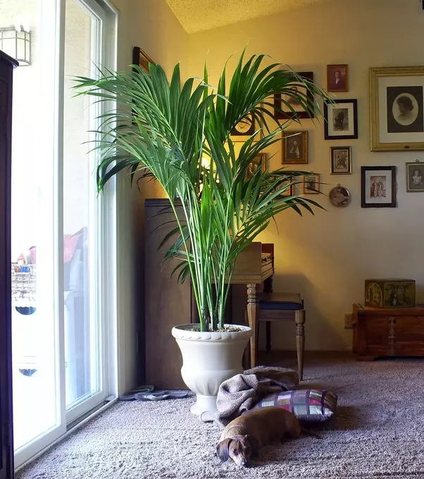 Palm Plants For Indoors: What Is The Biggest Palm And Healthiest Domestic Palm
