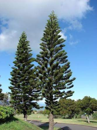What Are Some Examples Of Gymnosperms Quora