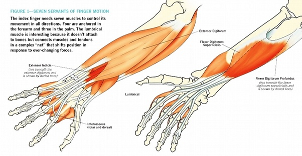 which muscles move each finger and thumb quora
