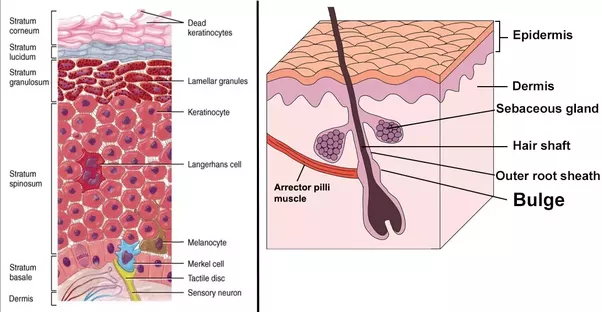 Where In The Body Are Skin Cells Created Quora