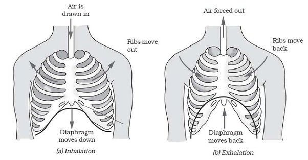 What is the function of the diaphragm in the respiratory system? - Quora