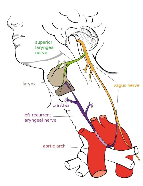 Can a swollen salivary gland press on the vagus nerve? - Quora