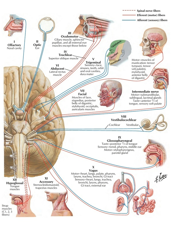 How are spinal nerves and cranial nerves different from autonomic ...