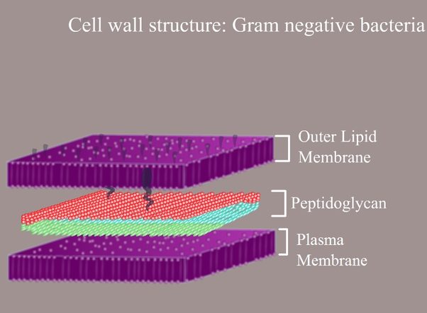 What is the gram staining procedure quora they also have an additional outer membrane which contains lipids which is separated from the cell wall by means of periplasmic space ccuart