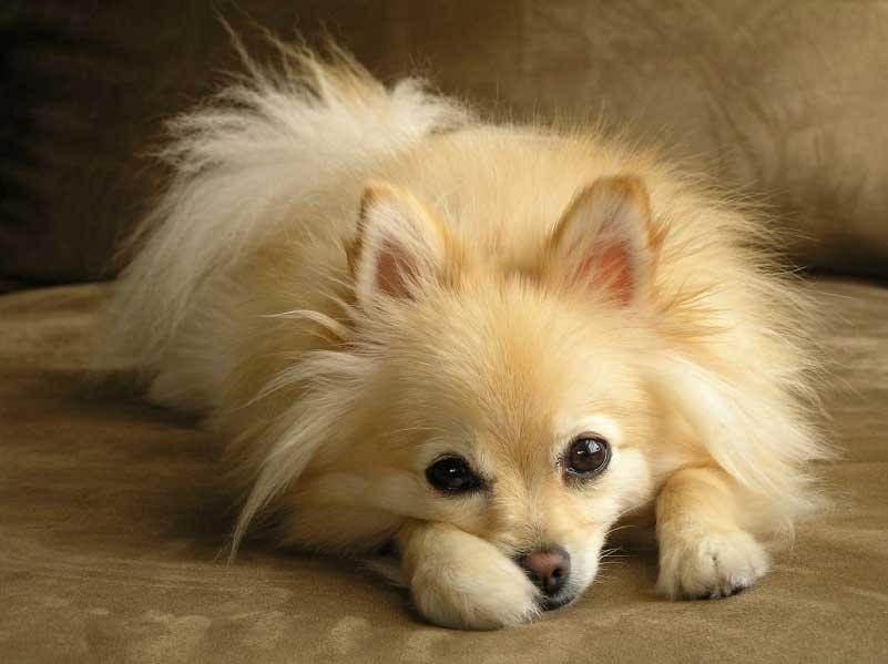 How To Take Care Of A Pomeranian Dog Quora