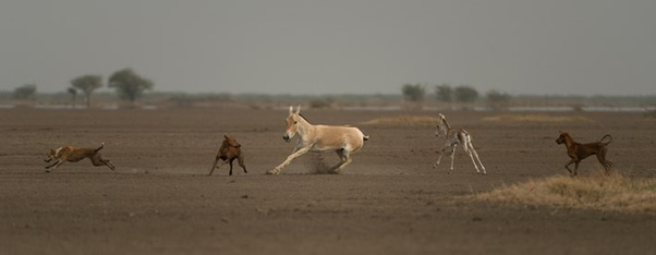 Donkey fights with predators.