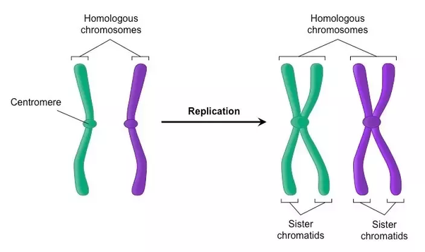 relationship between chromatid and centromere b