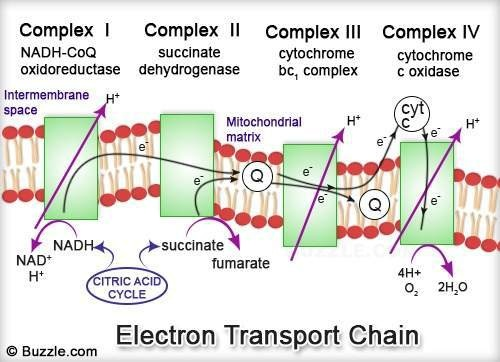 How are protons pumped through the oxidoreductase complexes in the some text was misplaced in the above diagram the mitochondrial matrix is the space inside the inner membrane protons are pumped up to the intermembrane ccuart Choice Image