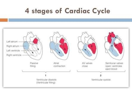 What Are The 4 Stages Of The Cardiac Cycle Quora