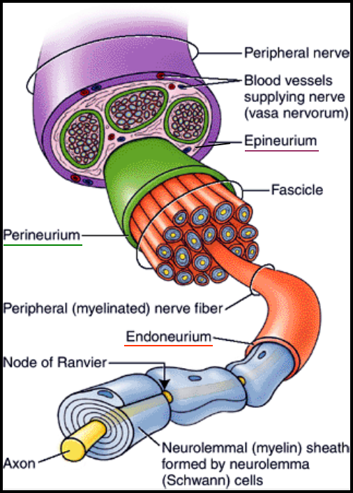 What Are The Differences Between A Neuron A Nerve Fibre A Nerve