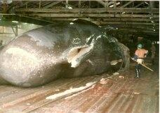 why are sperm whales endangered quora