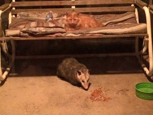 Why do possums eat kittens? How do they hunt them? - Quora