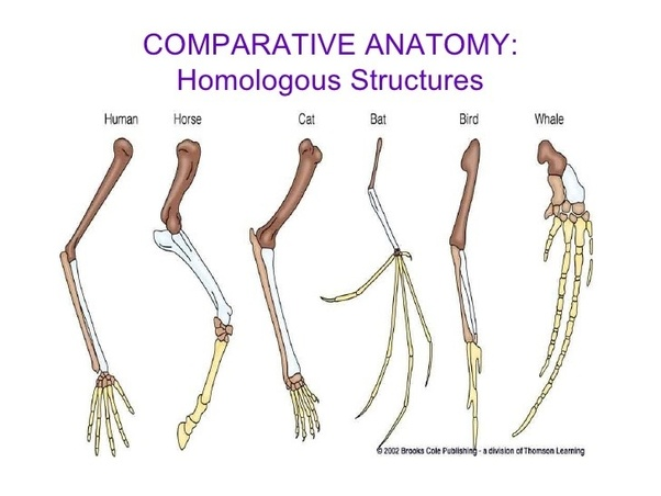 What Are Some Similarities In The Skeleton Of Humans And Birds Quora