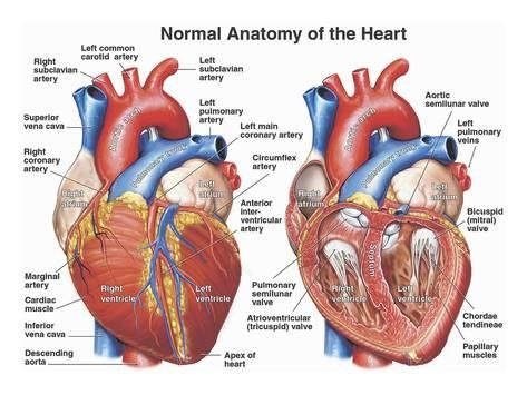 What is the structure of the heart quora here is some bonus anatomy with what the inside of a normal heart looks like ccuart Image collections