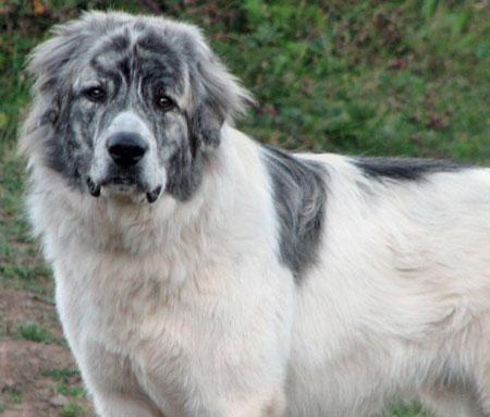 Big White Dog Looks Like St Bernard