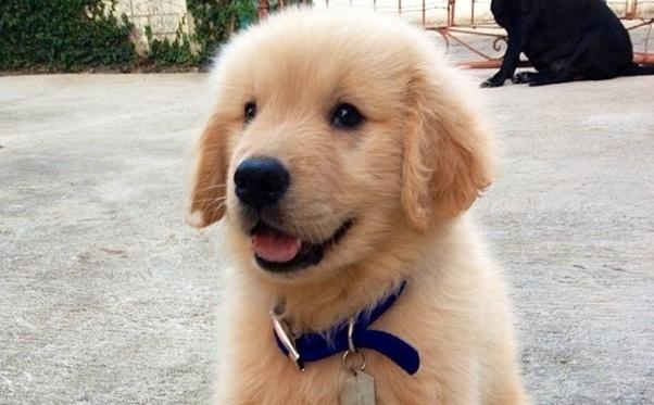 Price Of A Golden Retriever Puppy