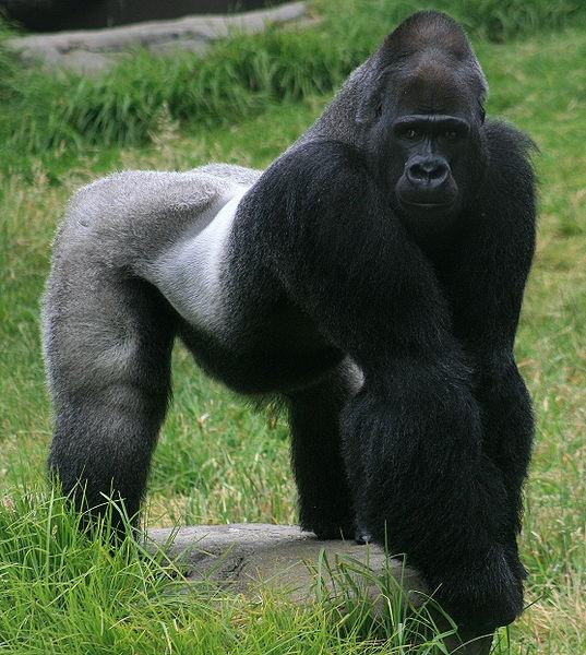 how big is a gorilla dick fat ass black pussy