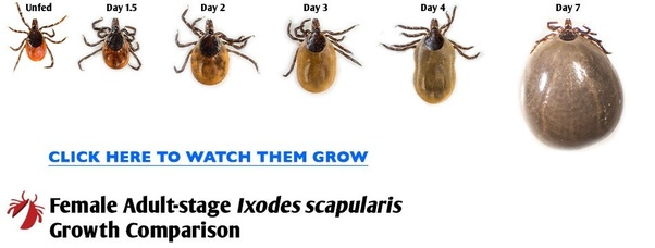 How long does it take a tick to burrow into your skin? - Quora