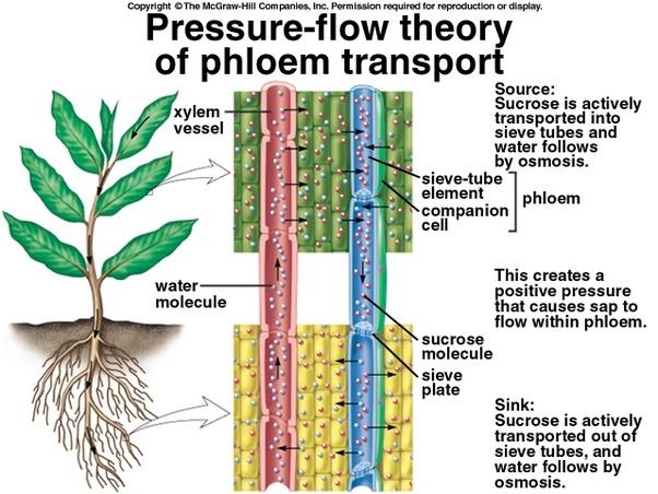 phloem examples