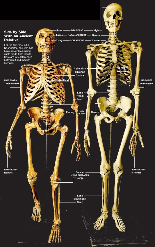What Is The Difference Between A Modern Human Skeleton And The