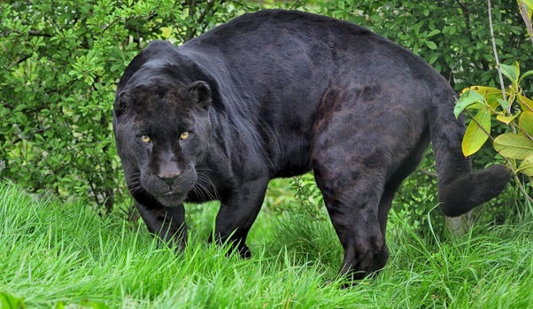 114003d538f0 Why are some leopards and jaguars black