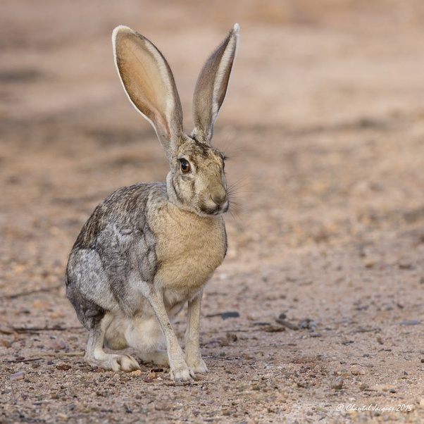 What Is The Largest Species Of Rabbit Quora