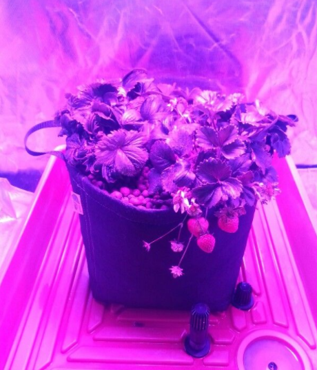 What Will Happen If I Grow A Strawberry Plant Under Grow