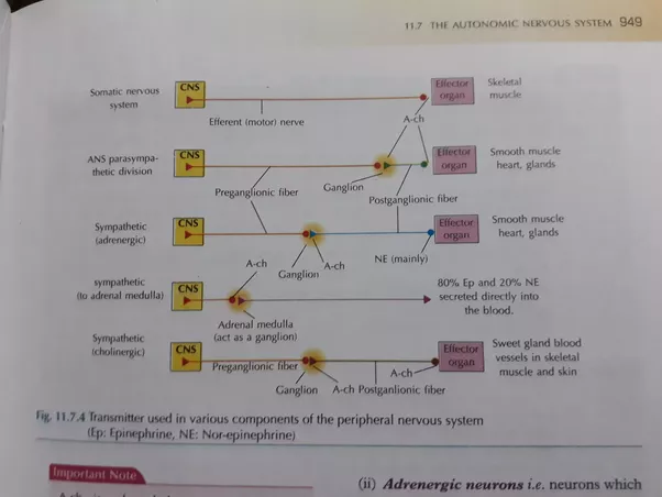 If action potentials are the same in all neurons how can different action potentials of the cells and nerves but there also happens to be the neurotransmitter at the nerve junctions the sympathetic system basically ccuart Image collections