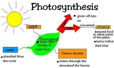 photosynthesis main result results which