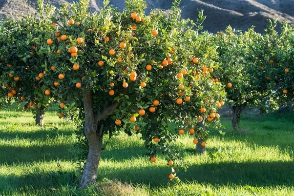 What does an orange tree look like when it is heavy with ...