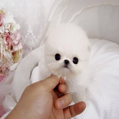 Why are Pomeranian puppies so expensive? - Quora